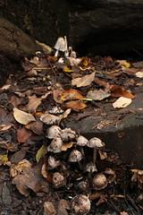 IMG_8967 (Geoff_B) Tags: badockswood bristol walkinthewoods autumn november unprocessed unedited
