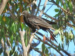 Corcorax melanorhamphos 5 (barryaceae) Tags: barraba nsw australia bird birds aves australianbirds ausbirds ausbird whitewinged chough corcorax melanorhamphos tarpolytravellingstockreserve