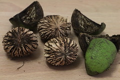 Juglans nigra, Schwarze Walnuss (julia_HalleFotoFan) Tags: walnuss nsse juglans juglansnigra