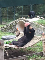 Sassy chilled out_2 (Animals Asia) Tags: animalsasia vietnam vbrc vietnambearrescuecentre sunbear integration rehabilitation sassy