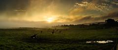 Pano (Zphotography!) Tags: yellow zeephoto wwwzeephotocouk ©2016zeephoto landscape pentax645z 55mm morning scotland trees sky cows field daybreak cloudy misty autumn