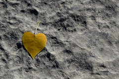 A lonely leaf along the Ottawa River in Hull (Gatineau), Qubec (Ullysses) Tags: hull gatineau qubec autumn automne ottawariver riviredesoutaouais leaf minimalist minimalism