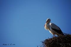 Ciconia ciconia (Ander Congil Ross) Tags: white stork zikoina zuria ciconia canon 7d sigma wildlife 18250 aiguamolls empord cataluina spain nature birds aves manualmode argazkilaritza euskara animal planet animalplanet