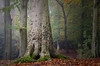 Mighty Beech (Chris Beesley) Tags: