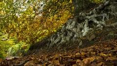 ARRELS. ROOTS (JESS PUIGMART i SNCHEZ) Tags: tree roots montseny barcelona unesco catalunya catalonia fall tardor otoo forest foret bosc arbre arbol hojas fulles nikon d7100