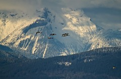 Trumpeter Swans and The North Cascades (jerrygabby1) Tags: