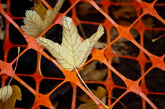 Leaves in the Orange Net 1 of 2 (Orbmiser) Tags: 55200vr d90 nikon oregon portland leaf leaves orange net plastic