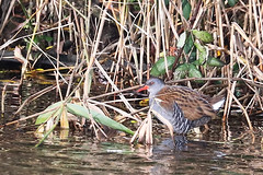 177A2497 (gipukan (rob gipman)) Tags: waterral rallusaquaticus 5d4 5dmarkiv canon100400lis lepelaarsplassen almere netherlands waterbird