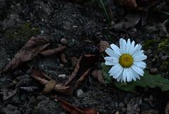 Hope in darkness (Goruna) Tags: marguerites margeriten flower blume garden ground autumn goruna