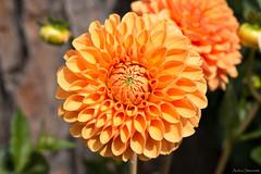 Orange dahlia (ambrasimonetti) Tags: orange dahlia dalia arancione flower fiore fleur saveearth
