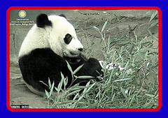 Bei Bei, waiting for election results.  ../af929.png (heights.18145) Tags: smithsoniansnationalzoo beibei meixiang corner panda bear pandabear cuteanimals bearcubs motheranimals ccncby