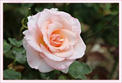 delicate beauty... (MEA Images) Tags: roses gardens rosegarden blooms flora nature parks pointdefiancepark tacoma washington canonb picmonkey