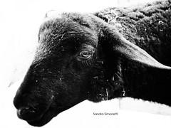 Pecora nera a chi? (sandra_simonetti88) Tags: pecoranera blacksheep sheep pecora nero black nera animale animal pet nature natura farm fattoria allevamento agriculture occhio eye portrait trasumanza