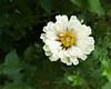 Plain Jane White... (zoomclic) Tags: canon closeup colorful green garden white zoomclicphotography xsi flower foliage yellow nature outdoors wideangle dof dreamy bokeh efs1022mmf3545usm canoneosdigitalrebelxsi