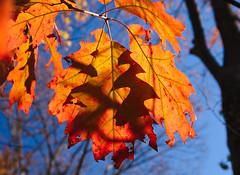 fall_leaves_8951 (McConnell Springs) Tags: mcconnellspringspark lexingtonky lexingtonparksrecreation tree leaves fall