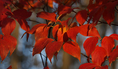 Dogwood at Sunset (vbd) Tags: pentax k3 vbd smcpentaxda55300mmf458ed ct connecticut fall newengland leaves sunset red 2016 fall2016 autumn handheld manualfocus