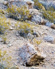 047-VOF160131_46341 (LDELD) Tags: nevada desert rugged dry harsh wild valleyoffire bighornsheep animal wildlife rocky