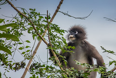 Monkey See, Monkey Do (& Other Monkey Business) (Jerry Fryer) Tags: duskyleafmonkey tree krabi thailand spectacledlangur leafeating 5dsr canon ef70300mmf456l
