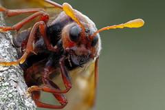 Cimbex (andre de kesel) Tags: cimbexconnatus largealdersawfly knopwesp cimbicidae hymenoptera sawfly zerenestacker latvi balticsea beach alder sonya6300 canonef100mm128lisusm metabonescanoneftosonyesmartadaptermarkiv fieldstack focusstacking