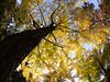 Black in Yellow (nak.viognier) Tags: osakacastle ginkgo yellow black 大阪城 olympusepl3 lumixgfisheye8mmf35