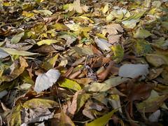 20161025_093745 (vale 83) Tags: autumn leaves nokia n8 friends macrodreams lunaphoto thebestyellow autofocus coloursplosion colourartaward