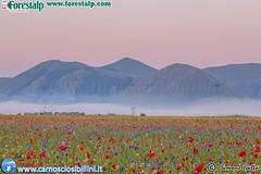 Fioriture Castelluccio 2016 (www.camosciosibillini.it) Tags: fioritura flowering sibillini castellucciodinorcia norcia