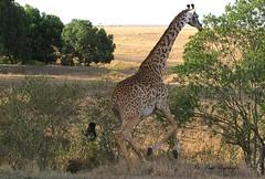 Galloping Giraffe. (welloutafocus) Tags: giraffe mara running africa kenya safari