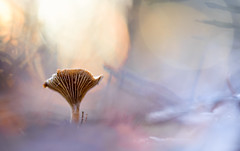 Pilz (MichaSauer) Tags: sonnenuntergang sunset pilz mushroom champignon macro makro