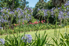 Agapanthus and red Iris abound (idunbarreid) Tags: agapanthus red iris
