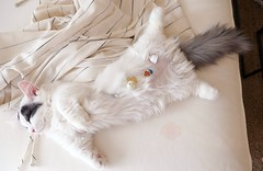 Sleeping little angel #goboogi #chobee #munchkin #cat # # # # # # # # # # # # (Goboogi.Munchkin) Tags:     goboogi  munchkin  chobee  cat