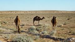 SAM_1185 (habib kaki) Tags: algrie algeria elbayadh       chameau dromadaire brezina brizina