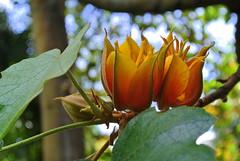 Tulpenbaum (ivlys) Tags: california sanfrancisco botanischergarten botanicalgarden tulpenbaum americantuliptree liriodendrontulipifera baum tree blte blossom blume flower pflanze plant nature ivlys