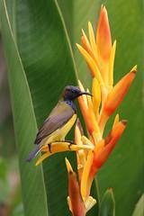 Olive-Backed Sunbird - Bali (happybirds.ch) Tags: indonesia pemuteran bali sunbird olivebacked