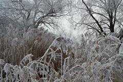 Schilf im Dezember (Lilith-Luana) Tags: schilf frost winter dezember kalt weis wasser eis main mainfranken weather outdoor frozen december nature natur landschaft