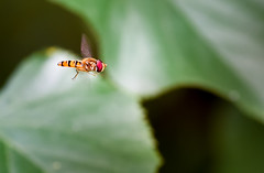taken flying above leaves (cosovan.vadim) Tags: insect taken flying nikon d750 dof macro tamron 90mm f28 fly nature