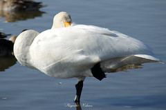 - Sleeping Beauty. (shig.) Tags: sleep sleeping sleepy swan water waterside bird birds swans nature natural white canon eos 70d