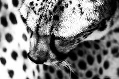 Lopard N&B (Nona P.) Tags: safari lopard animal flin afriquedusud noiretblanc nonap canon photography
