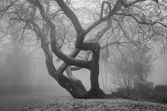 Gnarly Tree in the Mist (welshio) Tags: solotree lonesome lonely eerie dark spooky sleepyhollow nightmare gloomy mist fog wintermist gnarly gnarledtree treebark leaves haunted misty woods flora ancient mysterious treetrunk quiet atmospheric deciduous sinister scary wales cardiff tongwynlais