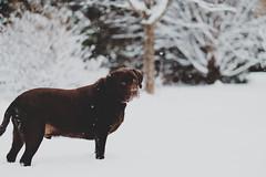 We've seen this sort of thing before. (DHaug) Tags: rolo chocolatelabradorretriever dog canine constantcompanion buddy friend snow flurries december 2016 fujifilm xt2 xf56mmf12r classicchrome simulation