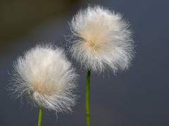 P8120072 (turbok) Tags: gräser pflanze scheuchzerswollgraseriophorumscheuchzeri wildpflanzen c kurt krimberger