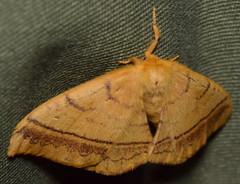 DSC_3033 (happy expat thailand) Tags: orangemoth moth thailand