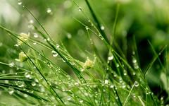 Pearls (Gikon) Tags: green grass closeup nikon waterdrop dof bokeh details drop pearls simplicity 1855mm deptoffield gikon d3100