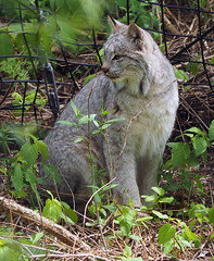 Binder Park Zoo 05-20-2015 - Canadian Lynx 9 (David441491) Tags: park zoo canadian lynx binder