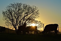 064/365 alfresco dining (J.R.P) Tags: sunset grass golden evening cow nikon cattle cows dusk farm farming moo nsw backlit agriculture leafless livestock alfresco paddock clearskies eatinggrass midnorthcoast d3200 karangi oraravalley