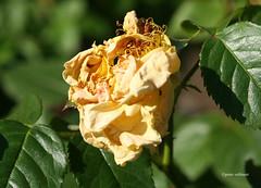 08-IMG_4245 (hemingwayfoto) Tags: rose flora pflanze gelb blume blte stadtpark verblht botanik blhen duftend edelrose rosengewchs gartengold