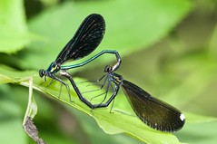 2015 Ebony Jewelwings Mating (Calopteryx maculata) 2 (DrLensCap) Tags: county railroad chicago abandoned robert forest bug way insect spur fly illinois woods track pacific district union cook trails right il trail rails mating to preserve damselfly kramer ebony weber preserves damsel calopteryx maculata labagh of jewelwings