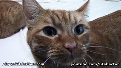 Hanging Out With Ginger Kitty Cats at Home (youtube.com/utahactor) Tags: pink red orange cats green yellow female canon nose four mackerel ginger blog eyes tabby like follow whiskers phoebe zeus gato website gata hd athena rare share videos tomcat facebook helios subscribe purring youtube cc100 friendsofzeusandphoebe