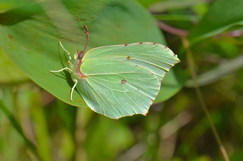 Common brimstone (Gonepteryx rhamni rhamni)