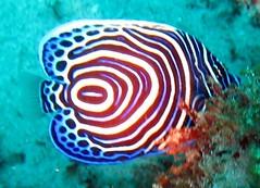 juevenile emperor angel (Carpe Feline) Tags: carpefeline mauritius scubadiving ocean reefs morayeels anemonefish scorpionfish lionfish arrowcrab nudibranch needlefish underwater