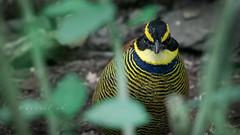 Javan Banded Pitta (male) (daniel ab 2007) Tags: bird pitta javanbandedpitta eastjava indonesia hydrornis guajana